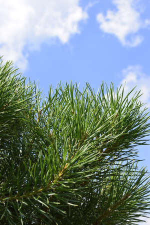 A branch of green pine with needles, on a summer day, against the sky. Blurred background of green pine twig with long green needles under blue sky. Freshness, nature concept. Latin: Pinus sylvestris Imagens