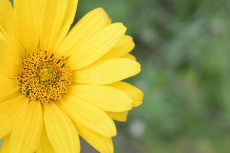Beautiful bright yellow flower Heliopsis helianthoides on a sunny day, close-up on a background of green leaves