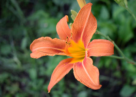 Orange lily flowers in nature. Charming blooming tender lily flower - summer background for advertising and isolating. Flower of a Fire Lily (Lilium bulbiferum)