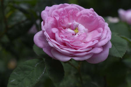 Pink Rose Garden. A bush of flowering pink roses. Natural background. Stock Photo