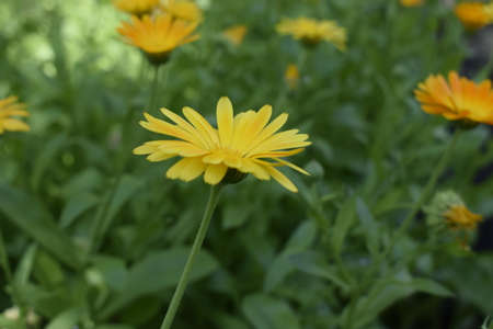 Calendula flower beautiful blossom in the herbal garden meadow with a blurred green background. in the middle of a sunny summer day. Yellow flower calendula on natural background Stock Photo