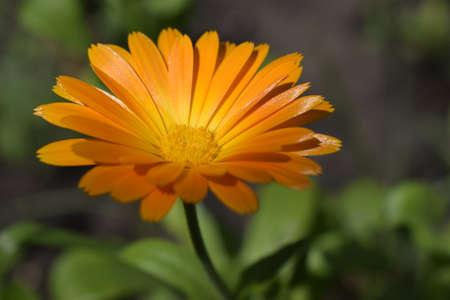 Blooming marigold flowers. Orange calendula on a green grass. Garden with calendula. Garden flowers. Nature flowers in garden. BYellow-orange petals. Green blurred background. Macro.