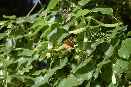 Blooming linden and butterflies on it. A closeup of single invasive species plant Nymphalis xanthomelas with an orange and black butterfly landed on it Stock Photo