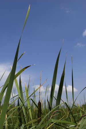 Green grass with blue summer sky. Meadow lush grass. Closeup. A Sunny day.