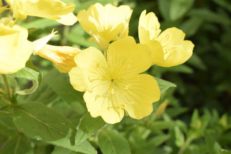 Enotera shrubby (Oenothera) - a perennial yellow flower in the garden, close-up Stock Photo
