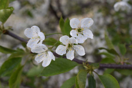 White flowers on a tree. White blossoms with blurred green background. Flowering branch in blooming spring garden. Flowers close-up in early spring Stock Photo