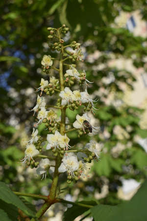 White chestnut blossom with tiny tender flowers and green leaves background. Horse chestnut flower with selective focus. Horse chestnut blossoming in springtime.