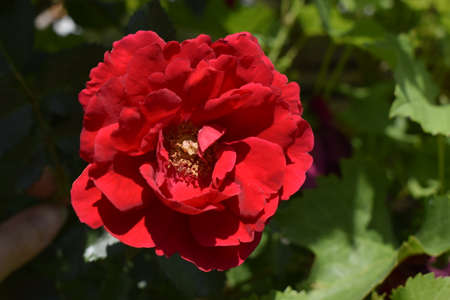 Red rose on a beautiful blurred background. Stock Photo
