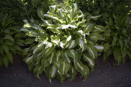 Hosta is a genus of plants commonly known as hostas, plantain lilies (in Britain) and occasionally by the Japanese name giboshi. Stock Photo
