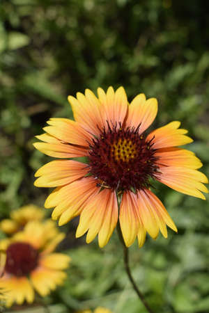 A colorful bright orange and red Gallardia flowers in the summer garden