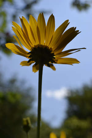 Beautiful bright yellow flower Heliopsis helianthoides on a sunny day, close-up on a blue sky background