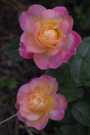 Floribunda, Rose, noble rose. Yellow and Orange Rose plants. A Plant with colour changing roses .Multicolour roses with amazing combination og red, yellow Stock Photo - 129134769