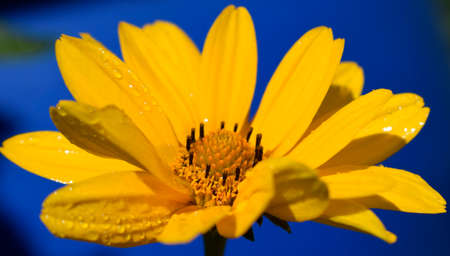 Yellow daisy flower (heliopsis) on the deep blue background. Beautiful flower petals with dew. Water drops on a flower