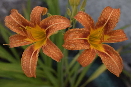 Orange lily (Lilium) flowers with drops of dew. Close-up of beautiful Lilium bulbiferum with water drops