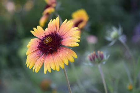 Yellow flower of the species gaillardia. Gaillardia flower with red and yellow petals on blurred background in the summer garden. Zdjęcie Seryjne