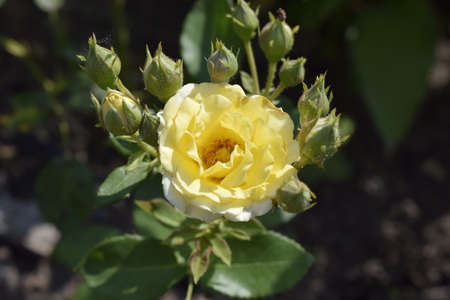 Buds of a yellow rose on a bush. Blooming roses in the garden. Yellow rose on dark background. Stock Photo - 129135072
