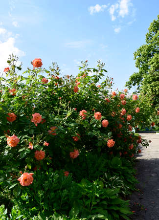 Pink rose flowers on beautiful rose bush in flowers garden at the morning with clear blue sky background in summertime. Beautiful peach-colored bush roses with soft blue sky on the background.