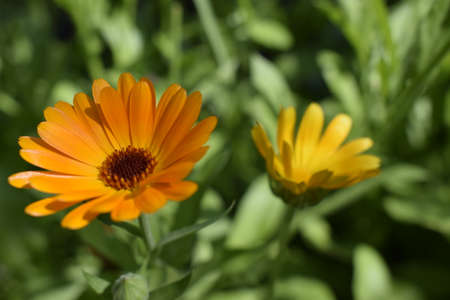 Blooming marigold flowers. Orange calendula on a green grass. Garden with calendula. Garden flowers. Nature flowers in garden. BYellow-orange petals. Green blurred background. Macro. Zdjęcie Seryjne - 129135238