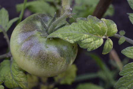 Green Tomatoes in a garden. Young unripe fruit tomatoes on the bush with garden household background. Ecology concept.