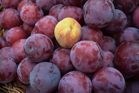 Ripe Plums and one apricot Background. Ripe juicy plum close-up. Red plum in the garden. Gardening, uniqueness, difference concept. Production of juices and fruit drinks. Harvest concept. Zdjęcie Seryjne - 129135397