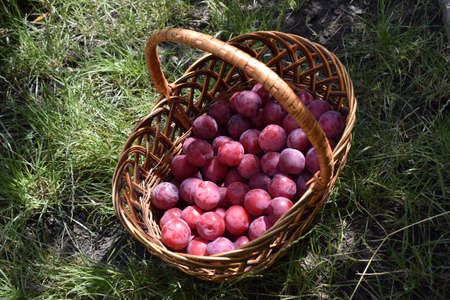 Closeup picture of wickerwork handbasket full of fresh juicy riped blue plums from organic farming just harvested in garden standing in the green grass. Zdjęcie Seryjne