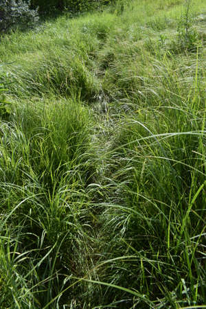Path in the green grass. Very clear and lightly curved cut path leading through a field of rough fresh green grass Zdjęcie Seryjne
