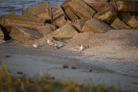 Seagulls watching the waves. Sea gulls on the shore in the sea. Stock Photo