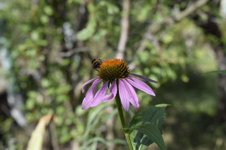 Purple flower Echinacea purpurea in the garden. Botanical background. Beautiful pink petals blooming plants. Decorative shrub for landscape design in parks and gardens