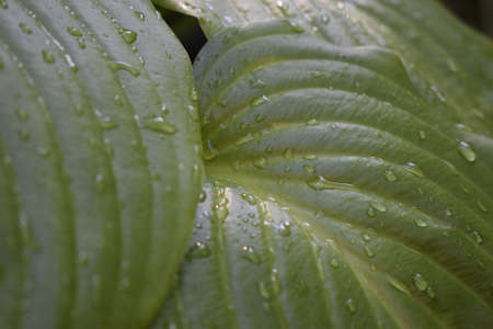 Beautiful tropical Hosta leaves with drops of water. Ornamental Hosta plant for landscaping park and garden design. Large lush green leaves with streaks. Botanical texture macro, Zdjęcie Seryjne - 129135752