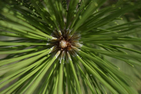 Freshness, nature and outdoors concept. Latin: Pinus sylvestris. The Spruce. Pine branch detail. pine needle close up