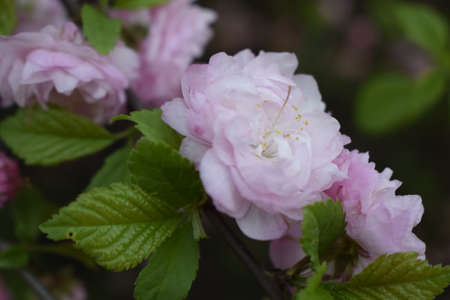 Spring pink blossom and green leaves on a branch. Beautiful spring flowers in the garden. Blooming tree. Stock Photo - 129136118