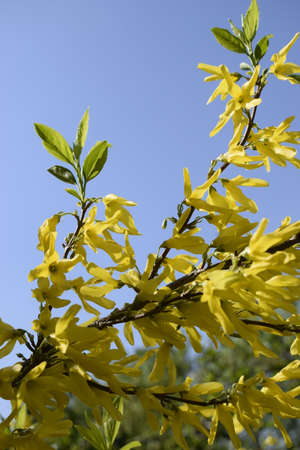 Forsythia flowers in sunny day. Nature soft selective focus blurred background with yellow florets in springtime. Blossoming forsythia Zdjęcie Seryjne - 129136124