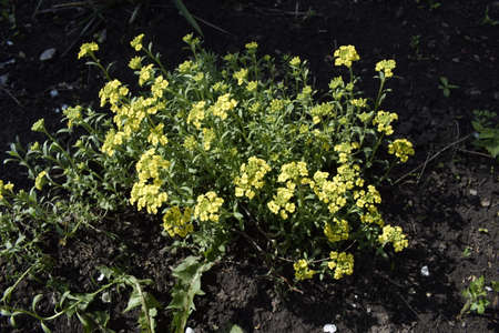 Gold alissum or borax. Blossoming Alissum (the Alison, Gmelina) in the garden. Flowers Zdjęcie Seryjne