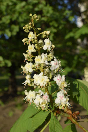 Foliage and flowers of chestnut (Aesculus hippocastanum). Horse-chestnut (Conker tree) flowers, leaf. Spring blossoming chestnut tree flowers. Stock Photo - 129136125