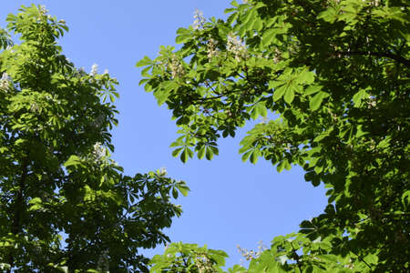 Green leaves against blue sky. Chestnut tree leaves and sun. New life concept, nature background. Copy space. Imagens