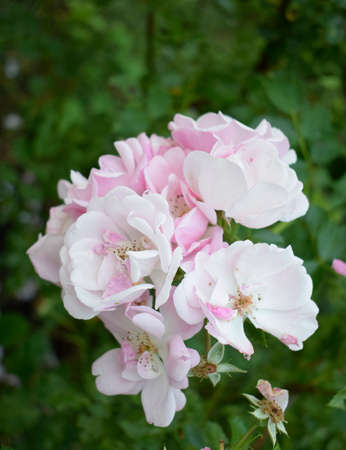 White rose in the garden. Beautiful pale pink rose blossoms on a bush