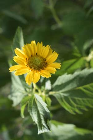 Yellow daisy flower on the green garden background. Soft focus. Beautiful flower petals