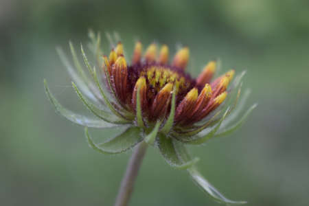 Blanket flower is flowering plant of sunflower family. Gaillardia flower bud on blurred background. Flower of the Aster family, used in landscaping, for creating holiday bouquets. Sempervivum tectorum