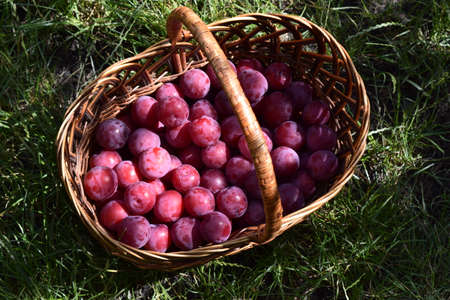 Closeup picture of wickerwork handbasket full of fresh juicy riped blue plums from organic farming just harvested in garden standing in the green grass. Imagens