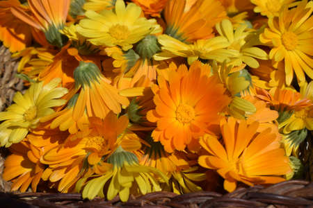 Background with Calendula. Medicinal herbs. Summer. Yellow and orange marigold flowers in the sunlight. Calendula flower, medicine herb, organic plant background. Alternative medicine concept