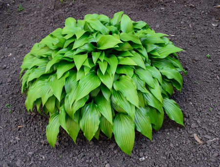 Green Hosta in summer garden. Ornamental plants Khosta (Funkiya) Green hosta (Hosta plantaginea)