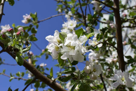 Delicate white flowers and pink buds of pear on a branch. Close a pear blossom in spring. Spring garden bloom. Beautiful flowering tree pear in spring.