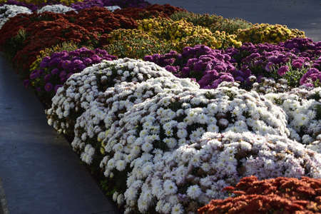 Decorative flower bed with multicolor chrysanthemums. The bright bushes of decorative chrysanthemums decorate flowerbeds in an autumn park.