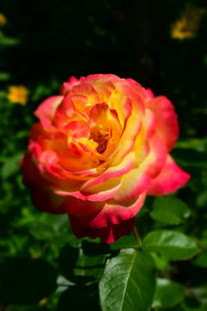 Floribunda, Rose, noble rose. Yellow and Orange Rose plants. A Plant with colour changing roses. Multicolour roses with amazing combination og red, yellow