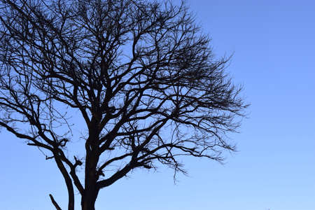 Branches of tree against clear blue sky. Tree in winter, silhouettes against evening sky.