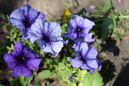 Petunia large-flowered Limbo Blue Veined. Flower of a petunia one-year white and violet color in a garden against the background of green leaves. 免版税图像