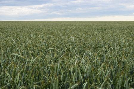 Green wheat field. Fresh wheat spikes in field - Bokeh blur