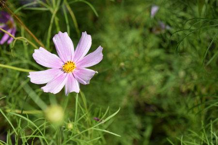 Cosmos flower in summer garden. Decorative White Blossom Of The Cosmos Bipinnatus, Cosmea Bipinnata, Bidens Formosa, Mexican Aster In A Horizontal Format Seen Closeup