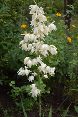 Yucca bush in bloom. Large white southern flower. A closeup of the white flowers of a Yucca Gloriosa.