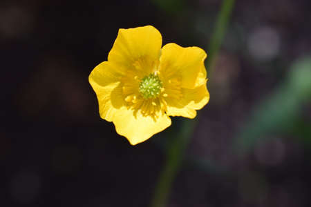 Erantis (spring) family of buttercup, growing in garden. Erantis spring family of buttercup. Close up of a yellow Meadow Buttercup flower. Also known as a Common, Giant, and Tall Buttercup. 免版税图像